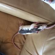 Wayne et Garth Th_577934433_rats3_122_75lo